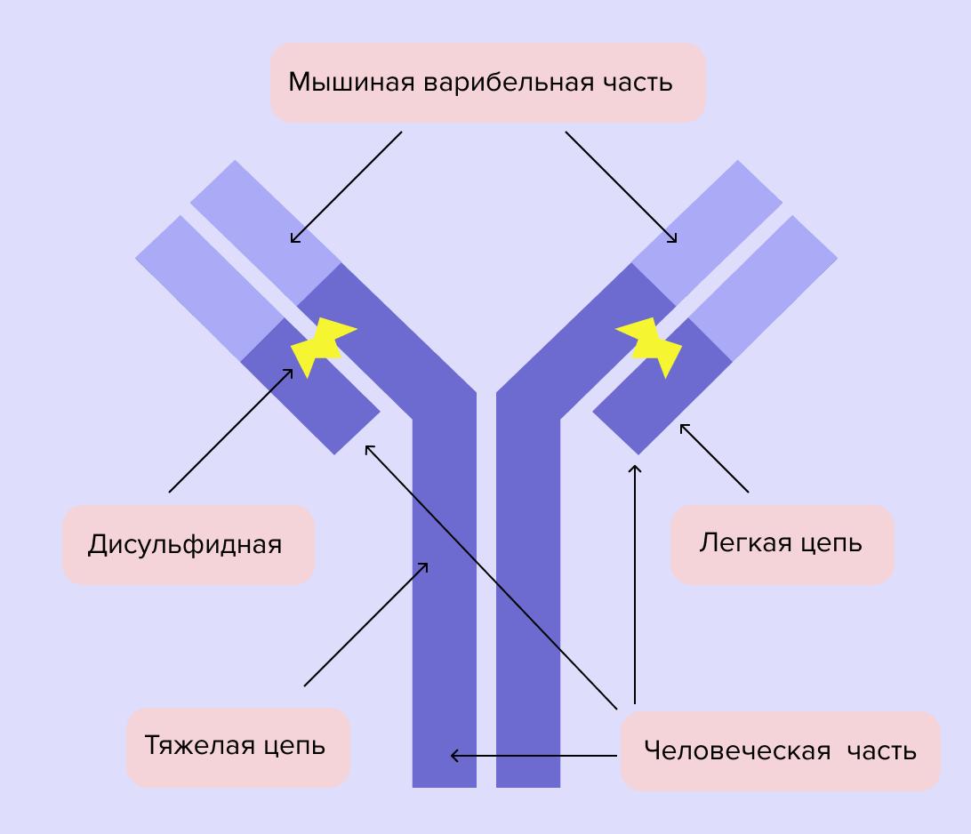 Схема строения моноклонального антитела. Моноклональные антитела - сложные многоатомные структуры больших размеров